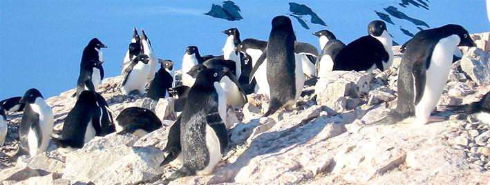 Penguins dans la région d'Ushuaïa, en Argentine